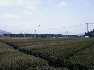 鹿児島県薩摩川内市樋脇町塔之原、お茶畑。