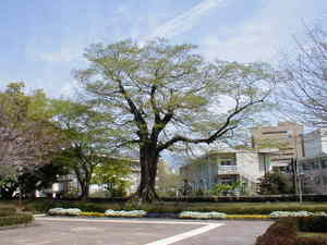 巨木・巨樹・森・林・木々・新緑・紅葉・古木